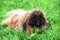 pekingese hund för valp Arkivfoto