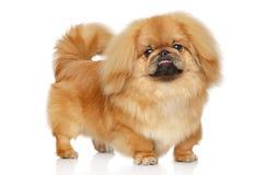 Pekingese Hund Porträt auf weißem Hintergrund Lizenzfreies Stockbild