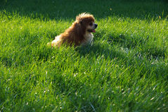 Pekingese impérial Photos stock
