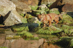 Pekingese Stock Photography