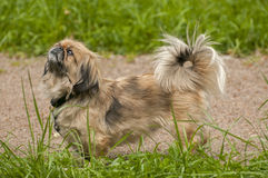 Pekingese Lion-Dog Royalty Free Stock Photography