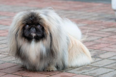 Pekingese, Lion Dog, Peke. Stock Images