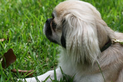 Pekingese Outside. A purebred Pekingese dog enjoys an afternoon in the backyard Royalty Free Stock Photo