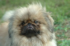 Pekingese(Pekinese). Light color Pekingese dog portrait royalty free stock images