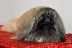 Pekingese pies zdjęcia stock