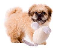 pekingese playfull σκυλιών Στοκ φωτογραφίες με δικαίωμα ελεύθερης χρήσης