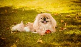 Pekingese dog on nature  Royalty Free Stock Photo