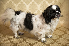 Pekingese Portrait. Photograph of a small dog in an animal rescue shelter Stock Photography