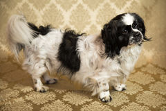 Pekingese Portrait. Photograph of a small dog in an animal rescue shelter Royalty Free Stock Photo