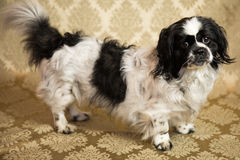 Pekingese Portrait. Photograph of a small dog in an animal rescue shelter Stock Photo