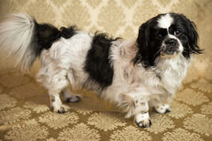 Pekingese Portrait. Photograph of a small dog in an animal rescue shelter Royalty Free Stock Image