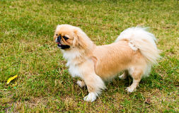 Pekingese profile. Stock Photos