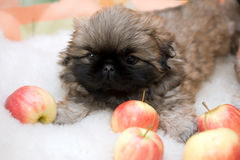 Pekingese puppy Royalty Free Stock Photos