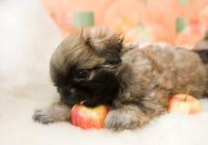 Pekingese puppy Stock Image