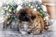 Pekingese puppy Stock Photo