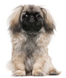 Pekingese puppy, 6 months old, sitting Royalty Free Stock Photos