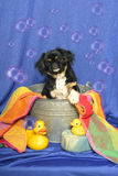 Pekingese Puppy in a Bathtub Stock Photography