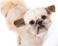 Pekingese Puppy. Close up picture of a pekingese puppy looking at the camera on a white background stock photos