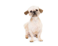 Pekingese Puppy. Close up picture of a pekingese puppy looking at the camera on a white background stock image