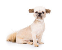Pekingese Puppy. Close up picture of a pekingese puppy looking at the camera on a white background royalty free stock image