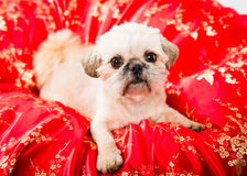 Pekingese Puppy. Close up picture of a pekingese puppy looking at the camera on a white background stock photography