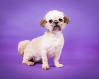 Pekingese Puppy. Puppy Pekingese dog sitting on a purple background looking at the camera stock photography