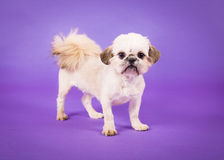 Pekingese Puppy. Puppy Pekingese dog standing on a purple background looking at the camera stock photo