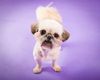 Pekingese Puppy. Puppy Pekingese dog standing on a purple background looking at the camera royalty free stock images