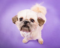 Pekingese Puppy. Puppy Pekingese dog standing on a purple background looking at the camera royalty free stock photo