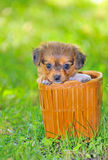 Pekingese puppy dog Stock Image