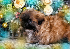 Pekingese puppy Stock Images