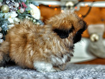 Pekingese puppy royalty free stock image