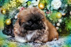 Pekingese puppy Royalty Free Stock Photo
