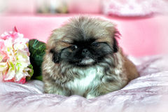 Pekingese puppy Royalty Free Stock Photography