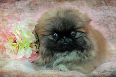 Pekingese puppy Royalty Free Stock Images