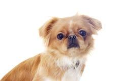Pekingese puppy looking Stock Image