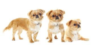 Pekingese puppy looking Royalty Free Stock Photo