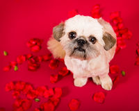 Pekingese Puppy Love. Picture of a pekingese puppy on a red background next to the word love surrounded by roses royalty free stock photos