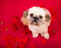 Pekingese Puppy Love Royalty Free Stock Photos