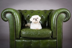 Pekingese Puppy. Picture of a pekingese puppy laying on a green chair royalty free stock photos