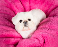 Pekingese Puppy. Picture of a pekingese puppy on a pink bean bag stock images