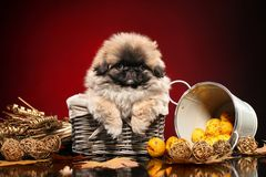 Pekingese puppy sits in wicker basket on dark red background royalty free stock images