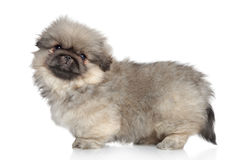Pekingese puppy standing Royalty Free Stock Images