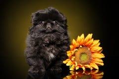 Pekingese puppy with sunflower stock image