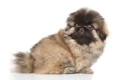 Pekingese puppy on white background royalty free stock photos