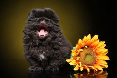 Pekingese puppy yawns stock photography