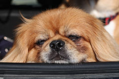 Pekingese resting head on car window Royalty Free Stock Photography