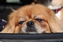 Pekingese resting head on car window Royalty Free Stock Photography