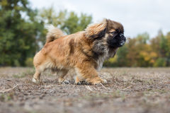 Pekingese runs across the field. Dog is walking in the autumn park Royalty Free Stock Images