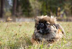 Pekingese runs across the field with a stick. Stock Images